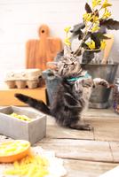 アメリカンショートヘアの子猫 21028022294| 写真素材・ストックフォト・画像・イラスト素材|アマナイメージズ