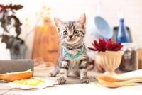 アメリカンショートヘアの子猫 21028022296| 写真素材・ストックフォト・画像・イラスト素材|アマナイメージズ