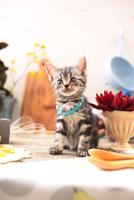 アメリカンショートヘアの子猫 21028022297| 写真素材・ストックフォト・画像・イラスト素材|アマナイメージズ