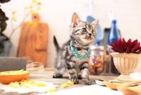 アメリカンショートヘアの子猫 21028022301| 写真素材・ストックフォト・画像・イラスト素材|アマナイメージズ
