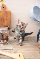 アメリカンショートヘアの子猫 21028022304| 写真素材・ストックフォト・画像・イラスト素材|アマナイメージズ