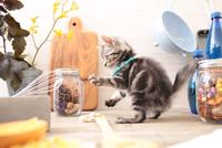 アメリカンショートヘアの子猫 21028022306| 写真素材・ストックフォト・画像・イラスト素材|アマナイメージズ