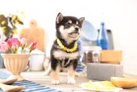 柴犬の子犬 21028022307| 写真素材・ストックフォト・画像・イラスト素材|アマナイメージズ
