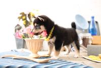 柴犬の子犬 21028022310| 写真素材・ストックフォト・画像・イラスト素材|アマナイメージズ
