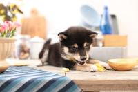 柴犬の子犬 21028022311| 写真素材・ストックフォト・画像・イラスト素材|アマナイメージズ