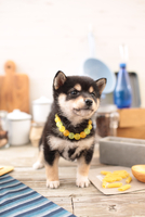 柴犬の子犬 21028022312| 写真素材・ストックフォト・画像・イラスト素材|アマナイメージズ