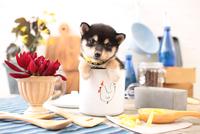 柴犬の子犬 21028022316| 写真素材・ストックフォト・画像・イラスト素材|アマナイメージズ