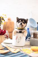 柴犬の子犬 21028022318| 写真素材・ストックフォト・画像・イラスト素材|アマナイメージズ