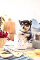 柴犬の子犬 21028022319| 写真素材・ストックフォト・画像・イラスト素材|アマナイメージズ