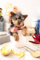 ヨークシャーテリアの子犬 21028022320| 写真素材・ストックフォト・画像・イラスト素材|アマナイメージズ