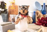 ヨークシャーテリアの子犬 21028022323| 写真素材・ストックフォト・画像・イラスト素材|アマナイメージズ