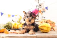 ヨークシャーテリアの子犬 21028022326| 写真素材・ストックフォト・画像・イラスト素材|アマナイメージズ