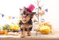 ヨークシャーテリアの子犬 21028022331| 写真素材・ストックフォト・画像・イラスト素材|アマナイメージズ