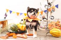 柴犬の子犬 21028022333| 写真素材・ストックフォト・画像・イラスト素材|アマナイメージズ