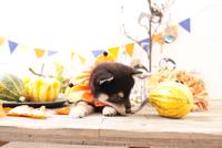 柴犬の子犬 21028022334| 写真素材・ストックフォト・画像・イラスト素材|アマナイメージズ