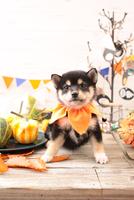 柴犬の子犬 21028022336| 写真素材・ストックフォト・画像・イラスト素材|アマナイメージズ
