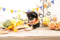柴犬の子犬 21028022340| 写真素材・ストックフォト・画像・イラスト素材|アマナイメージズ
