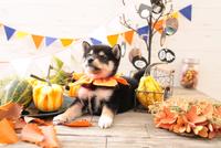 柴犬の子犬 21028022343| 写真素材・ストックフォト・画像・イラスト素材|アマナイメージズ