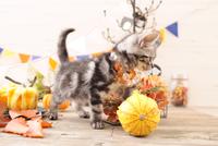 アメリカンショートヘアの子猫 21028022345| 写真素材・ストックフォト・画像・イラスト素材|アマナイメージズ