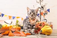 アメリカンショートヘアの子猫 21028022349  写真素材・ストックフォト・画像・イラスト素材 アマナイメージズ
