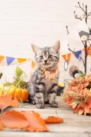 アメリカンショートヘアの子猫 21028022350  写真素材・ストックフォト・画像・イラスト素材 アマナイメージズ