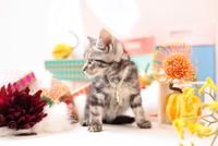 アメリカンショートヘアの子猫 21028022360  写真素材・ストックフォト・画像・イラスト素材 アマナイメージズ