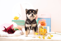 柴犬の子犬 21028022370| 写真素材・ストックフォト・画像・イラスト素材|アマナイメージズ