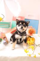 柴犬の子犬 21028022373| 写真素材・ストックフォト・画像・イラスト素材|アマナイメージズ