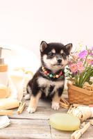 柴犬の子犬 21028022395| 写真素材・ストックフォト・画像・イラスト素材|アマナイメージズ