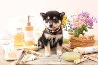 柴犬の子犬 21028022396| 写真素材・ストックフォト・画像・イラスト素材|アマナイメージズ