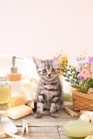 アメリカンショートヘアの子猫 21028022399| 写真素材・ストックフォト・画像・イラスト素材|アマナイメージズ