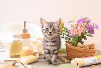 アメリカンショートヘアの子猫 21028022403| 写真素材・ストックフォト・画像・イラスト素材|アマナイメージズ