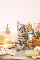 アメリカンショートヘアの子猫 21028022405  写真素材・ストックフォト・画像・イラスト素材 アマナイメージズ