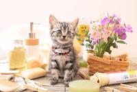 アメリカンショートヘアの子猫 21028022406  写真素材・ストックフォト・画像・イラスト素材 アマナイメージズ