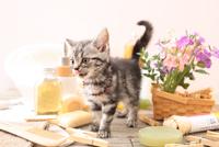 アメリカンショートヘアの子猫 21028022407  写真素材・ストックフォト・画像・イラスト素材 アマナイメージズ