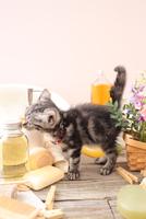 アメリカンショートヘアの子猫 21028022410  写真素材・ストックフォト・画像・イラスト素材 アマナイメージズ