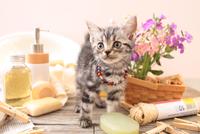 アメリカンショートヘアの子猫 21028022413  写真素材・ストックフォト・画像・イラスト素材 アマナイメージズ