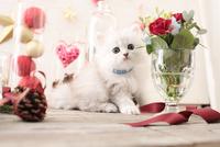 1匹の猫 ペルシャ(チンチラ シルバー) 21028022936  写真素材・ストックフォト・画像・イラスト素材 アマナイメージズ