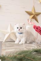 1匹の猫 ペルシャ(チンチラ シルバー) 21028022937  写真素材・ストックフォト・画像・イラスト素材 アマナイメージズ