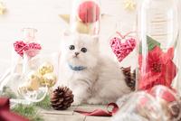 1匹の猫 ペルシャ(チンチラ シルバー) 21028022939  写真素材・ストックフォト・画像・イラスト素材 アマナイメージズ