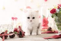 1匹の猫 ペルシャ(チンチラ シルバー) 21028022940  写真素材・ストックフォト・画像・イラスト素材 アマナイメージズ