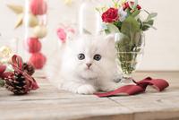 1匹の猫 ペルシャ(チンチラ シルバー) 21028022944  写真素材・ストックフォト・画像・イラスト素材 アマナイメージズ