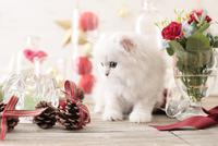 1匹の猫 ペルシャ(チンチラ シルバー) 21028022946  写真素材・ストックフォト・画像・イラスト素材 アマナイメージズ