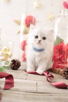 1匹の猫 ペルシャ(チンチラ シルバー) 21028022947  写真素材・ストックフォト・画像・イラスト素材 アマナイメージズ