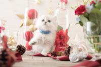 1匹の猫 ペルシャ(チンチラ シルバー) 21028022949| 写真素材・ストックフォト・画像・イラスト素材|アマナイメージズ