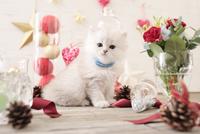 1匹の猫 ペルシャ(チンチラ シルバー) 21028022951  写真素材・ストックフォト・画像・イラスト素材 アマナイメージズ