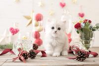1匹の猫 ペルシャ(チンチラ シルバー) 21028022954  写真素材・ストックフォト・画像・イラスト素材 アマナイメージズ