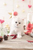 1匹の猫 ペルシャ(チンチラ シルバー) 21028022958  写真素材・ストックフォト・画像・イラスト素材 アマナイメージズ