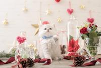 1匹の猫 ペルシャ(チンチラ シルバー) 21028022960  写真素材・ストックフォト・画像・イラスト素材 アマナイメージズ