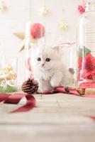 1匹の猫 ペルシャ(チンチラ シルバー) 21028022965  写真素材・ストックフォト・画像・イラスト素材 アマナイメージズ